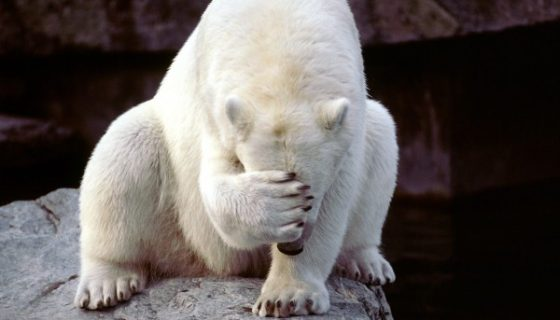 polar-bear embarassed